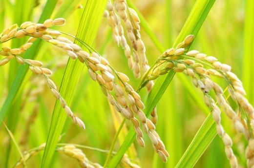 Types of Sake Rice